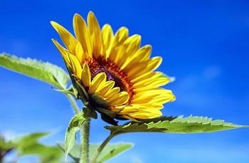 sun-flower-1536088_640.jpg
